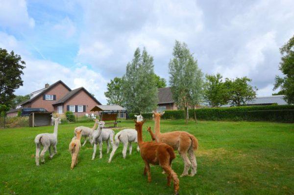 Alpacafarm Vorstenbosch - Nederland - Noord-Brabant - 6 personen - alpaca's